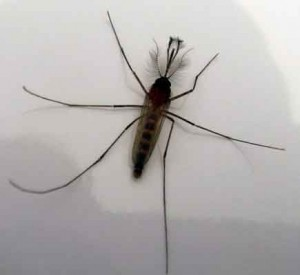 Normal mosquito in Costa Rica