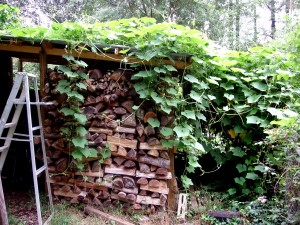 Our woodshed in South Carolina covered with chayote vines.