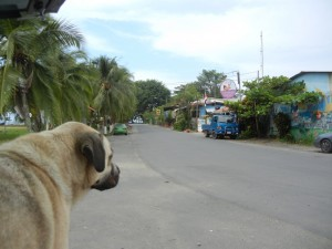 Marley checks out Puerto Viejo