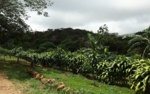 SF0405-finca-and-organic-coffee-farm-is-your-development1
