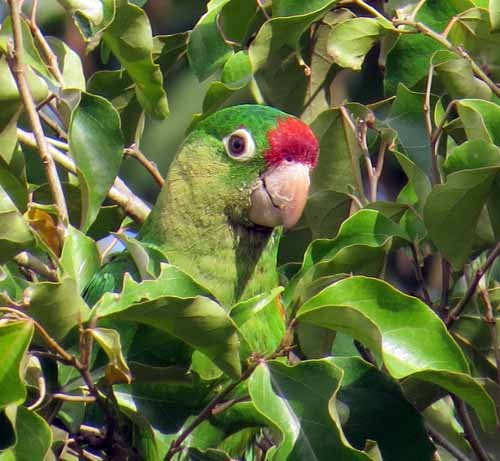 Crimson-fronted parakeet in Colpachi