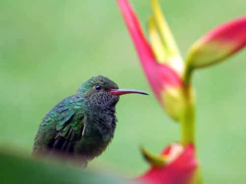 Hummingbird with heliconia